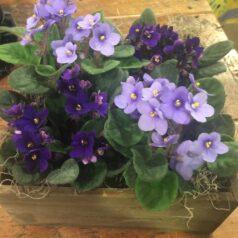 Violets in box